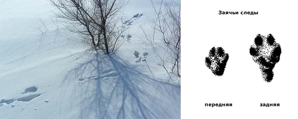 заячьи следы зимой